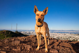 Cattle Dog Mix with Red Fur Large  on Twin Peaks in San Francisco