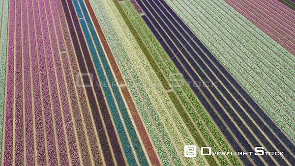 Blossoming Tulip Fields Hillegom South Holland Netherlands Drone Video