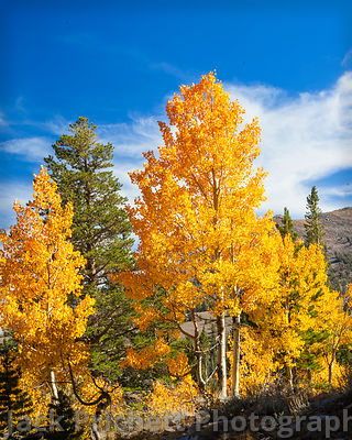Sierra golden aspens against blue sky