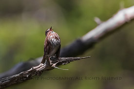 Song Sparrow in Olympic National Park