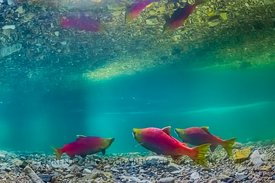 Sockeye Salmon Spawning in the Cooper River