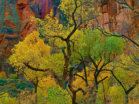 Sycamores and Red Rock