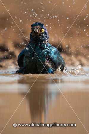 Cape glossy starling bathing, Lamprotornis nitens, Zimanga Game Reserve, South Africa