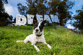 Curious Cattle Dog Mix Lying on Hill Near Dream Sign