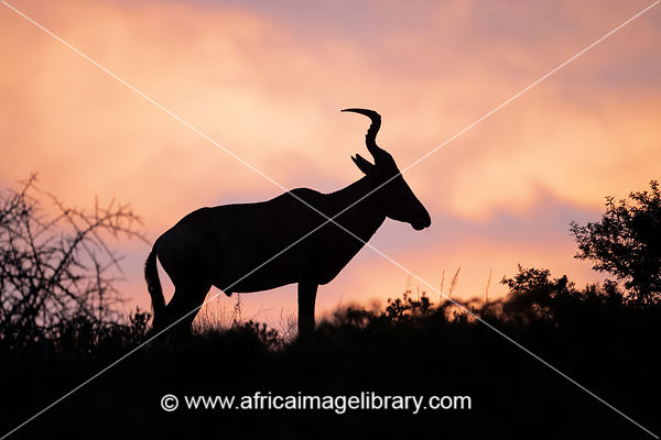 Red Hartebeest at sunset, Alcelaphus caama, Amakhala Game Reserve, South Africa