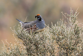 Male Gambel's Quail in City of Rocks State Park