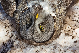 Great Gray Owl Killed by a Vehicle along Minnesota's North Shore