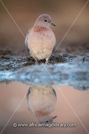 Laughing dove, Spilopelia senegalensis, Zimanga Game Reserve, South Africa