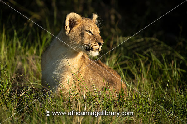 Lion cub, Panthero leo, Sibuya Game Reserve, South Africa