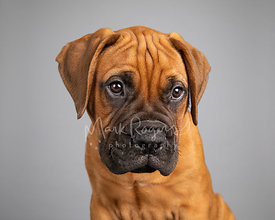 Studio Photo Bull Mastiff Puppy Souful Look on Gray