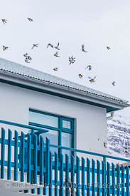 Snow Buntings in Ísafjörður in the Westfjords Region of Iceland