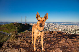 Cattle Dog Mix with Large Ears on Twin Peaks in San Francisco