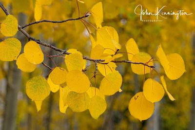 Aspen Tree Branch, Uncompahgre National Forest, Colorado