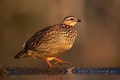 Crested francolin, Dendroperdix sephaena, Zimanga Game Reserve, South Africa