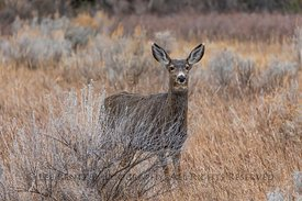 Mule Deer In Theodore Roosevelt National Park