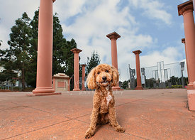 Red Goldendoodle Puppy at Kezar Stadium in SF