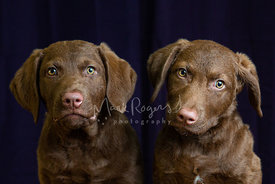 Studio Close-up of Two Retriever Puppies side by side against purple