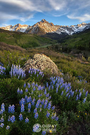 Evening Lupine - Vertical