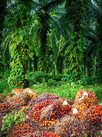 Palm Oil Plantation, Papua New Guinea