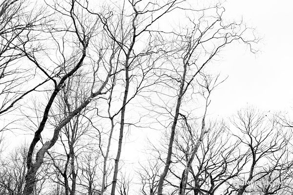 WINTER TREES CHICAGO NORTH SHORE RYERSON WOODS FOREST PRESERVE RIVERWOODS ILLINOIS MIDWEST LANDSCAPE NATURE BLACK AND WHITE