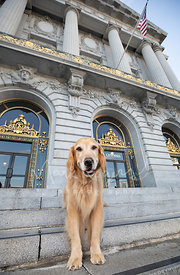 Smiling Golden Retriever Standing on front Steps of SF City Hall