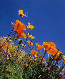 California Poppies in a Spring Meadow