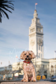 Terrier with Tongue out at Ferry Building