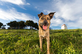 Brown Brindle Shepherd Mix Dog Facing Downhill in Park