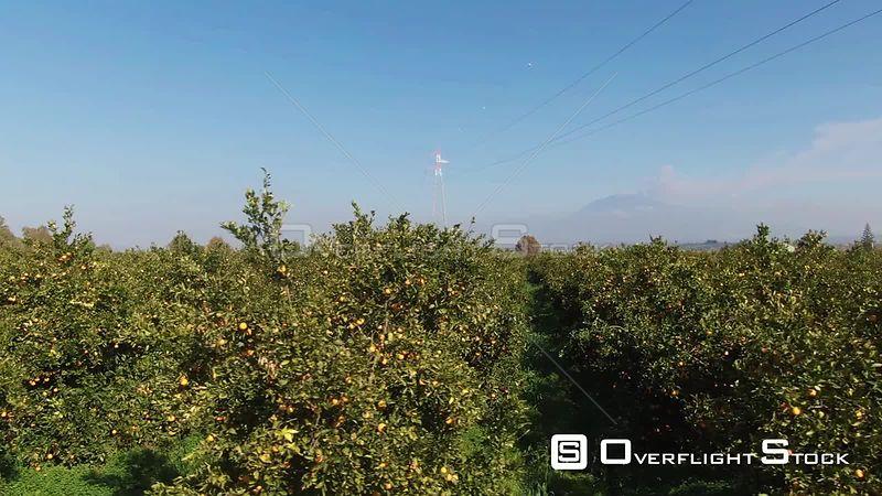 An Orange Plantation in Sicily Italy With Mount Etna in the Background