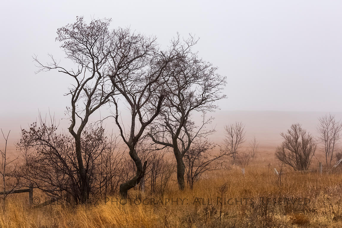 Trees in the Mist in Minnesota