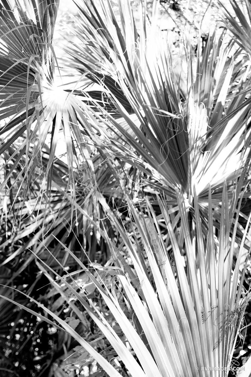 PALMETTOS BIG CYPRESS BEND FAKAHATCHEE STRAND PRESERVE STATE PARK EVERGLADES FLORIDA BLACK AND WHITE VERTICAL