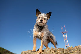 Terrier Mix Dog Standing on Rock with Sutro Tower in Background