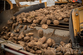 Potato sorting in Oregon.