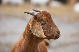 Brown Goat with Straw in Mouth Looking Right