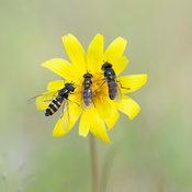 3_hoverflies_on_yellow_flower