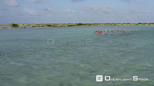 Bonaire Caribbean Netherlands Aerial Flying low around flamingos landing and taking off
