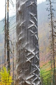 Dead Conifer with X-shaped Marks in Kootenay National Park