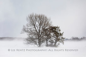 Trees in Wind-driven Snow in Michigan