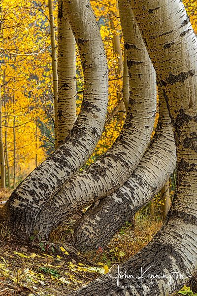 Dancing Aspens No. 3 (Vertical), Uncompahgre National Forest, Colorado