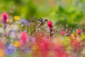 Rufous Hummingbird and Wildflowers in the Goat Rocks Wilderness