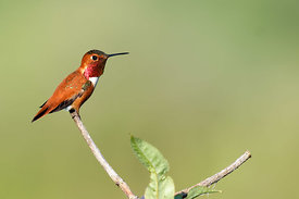 May - Rufous Hummingbird (male)
