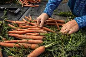 A farmer sorting carrots in Oregon.