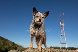Terrier on Rock with SF Sutro Tower Behind