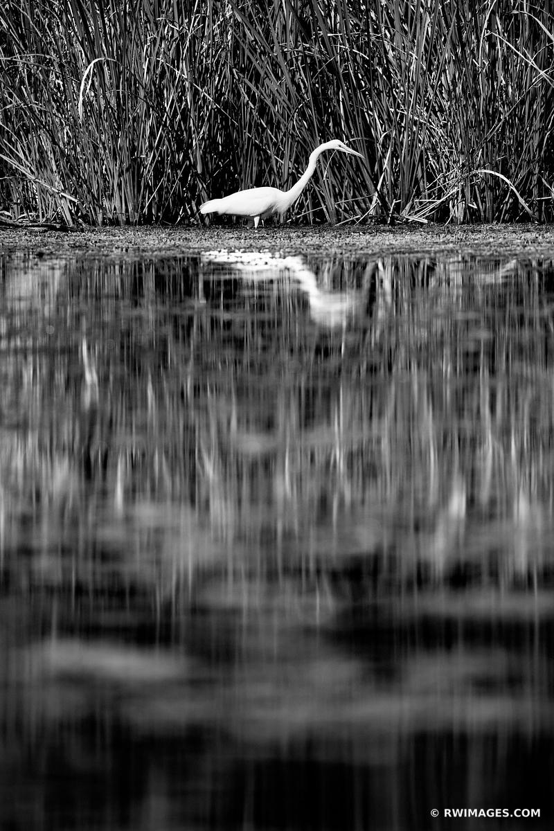 WHITE EGRET TURNER RIVER BIG CYPRESS NATIONAL PRESERVE EVERGLADES FLORIDA BLACK AND WHITE VERTICAL