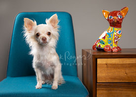 Longhaired Chihuahua In Chair Next to Dog Statuette