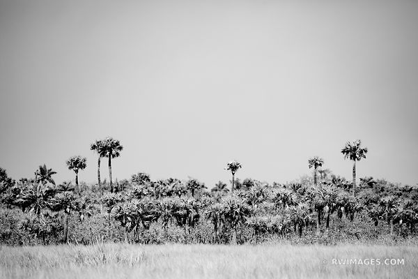 PALM TREES BIG CYPRESS NATIONAL PRESERVE EVERGLADES FLORIDA BLACK AND WHITE