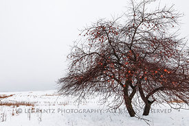 APPLE TREE AND WINTER FOG