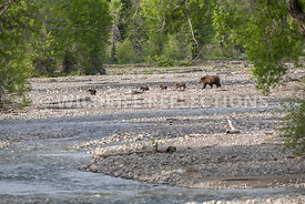grizzly_bear_tetons_06202020-101