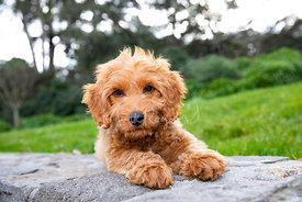 Red Goldendoodle Puppy on Wall