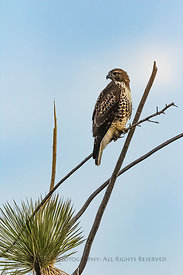 Juvenile Red-tailed Hawk in City of Rocks State Park, New Mexico